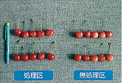 ペンタキープ使用事例:オウトウ(佐藤錦)