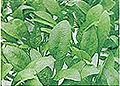ホウレンソウ処理区:葉が丸い