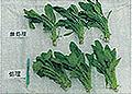 ペンタキープ使用事例:ホウレンソウ
