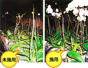 胡蝶蘭 使用例