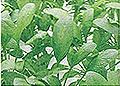 ホウレンソウ無処理区:葉が細長い