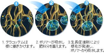 1.テラコッテムは根に働きかけます。2.ポリマーが吸水し肥料分を蓄えます。3.生長促進剤により根毛が発達し、ポリマーから吸水します。